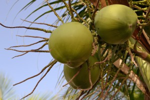 close up image of coconut fruits  against blue sky.